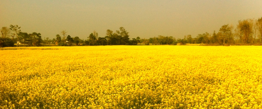 Sauraha Mustard Fields